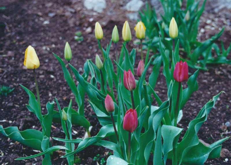 Tulips in Montclair NJ