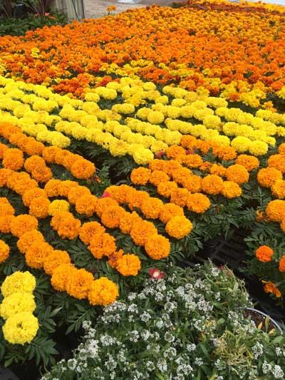 Spring Garden Inspiration - Carnations