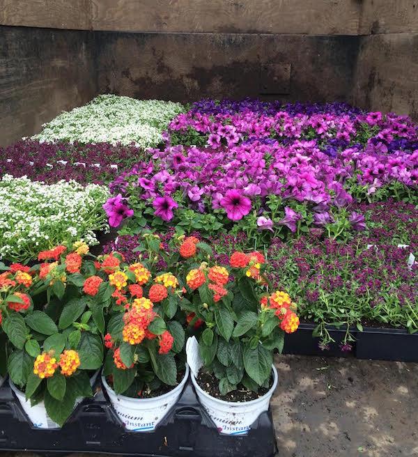 a Montclair landscape designer reconsiders her stance on annual plants