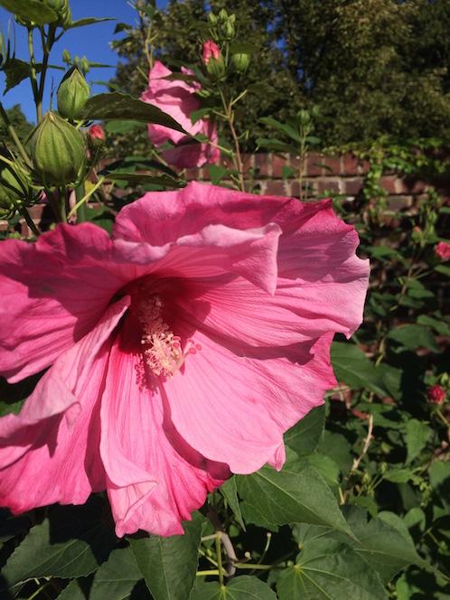 A Montclair NJ landscape designer plants rose mallow in a summer garden