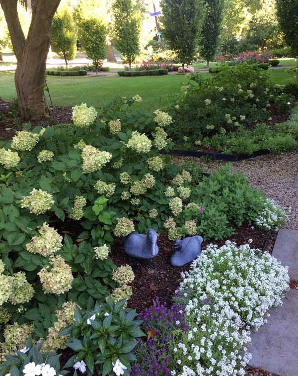 "Hydrangea Paniculata ""Little Lime"""