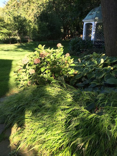 hydrangeas in a garden in summer
