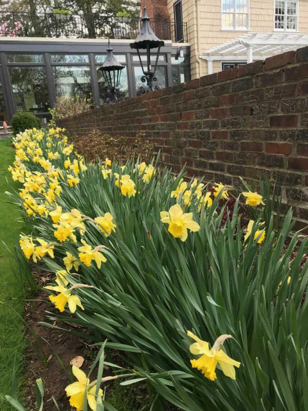 daffodils montclair nj